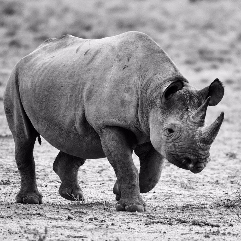 admcf_rhino-by-rod-diaz