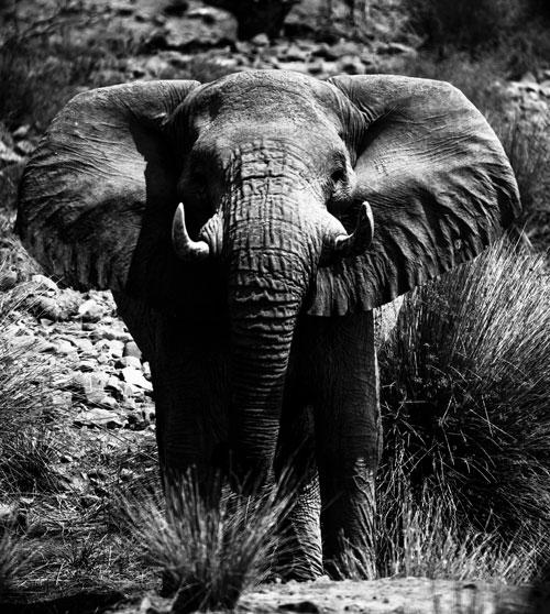admcf_elephant