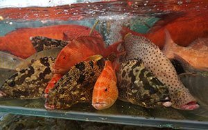 ADMCF_Live-Reef-Fish-Food-Trade-300x188-1